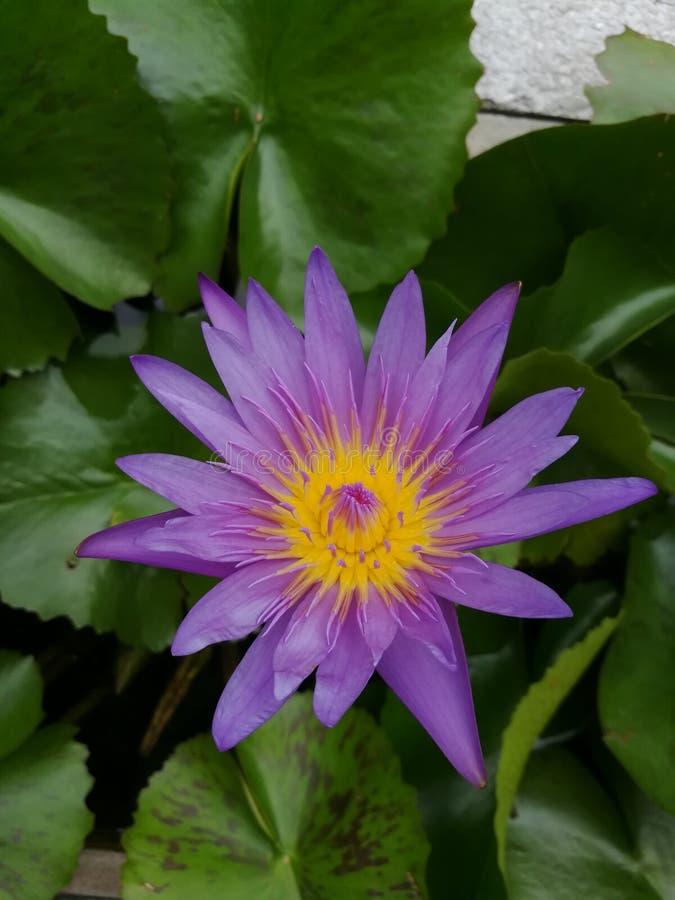 Fiore di loto porpora e giallo fotografie stock libere da diritti