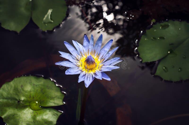 Fiore di loto porpora in stagno fotografia stock