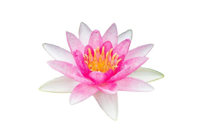Fiore di loto rosa bianco su fondo bianco fotografie stock