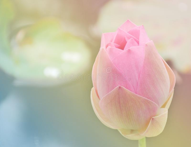Fiore di loto rosa dolce molle con colore pastello per fondo fotografia stock libera da diritti