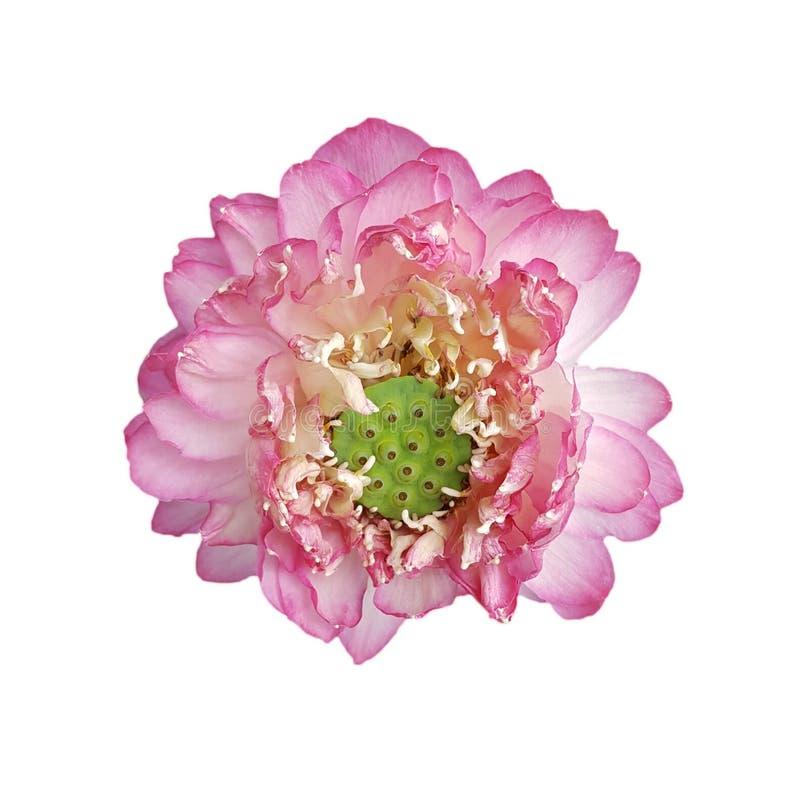 Fiore di loto rosa isolato su fondo bianco immagine stock libera da diritti