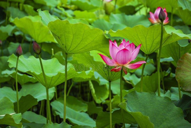 Fiore di loto sbocciante immagini stock