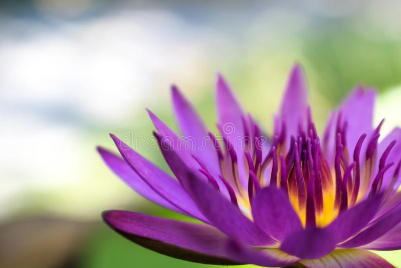 Fiore di loto viola immagini stock
