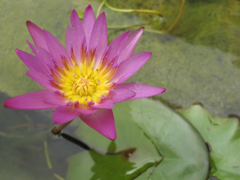 Fiore di loto viola fotografia stock