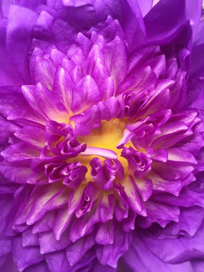 Fiore di loto viola immagine stock