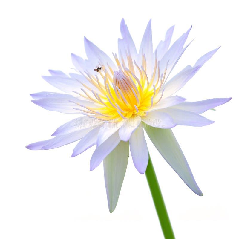 Fiore di loto viola e bianco fotografie stock libere da diritti