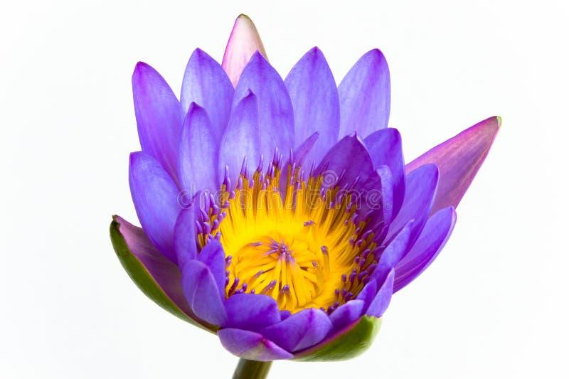 Fiore di loto viola e priorità bassa bianca. fotografia stock