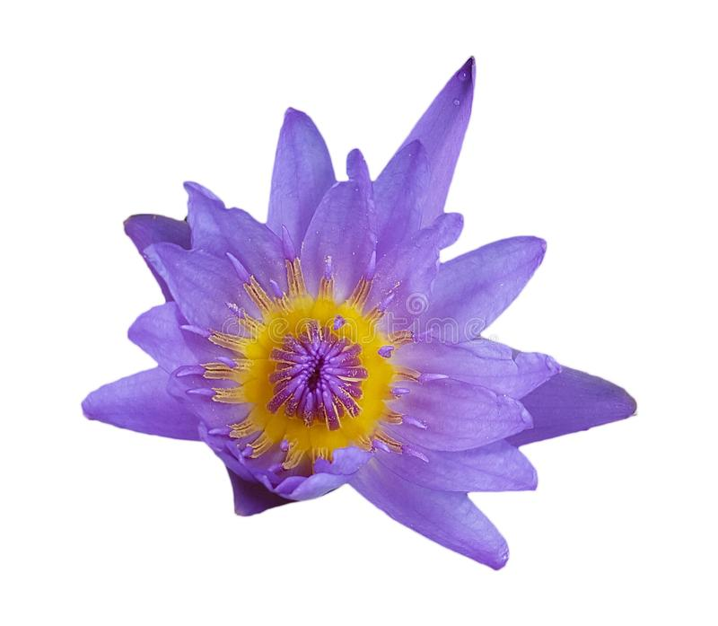 Fiore di loto viola isolato su fondo bianco fotografie stock libere da diritti