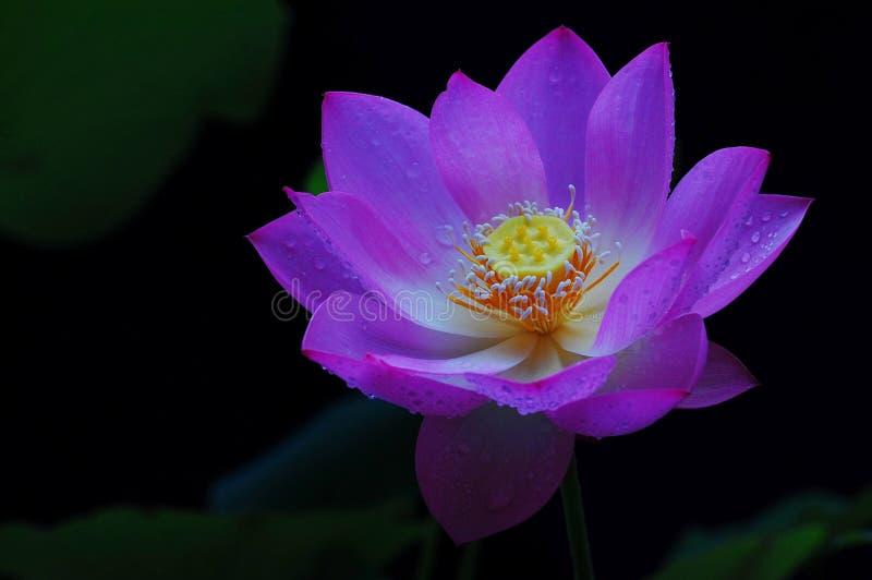 Fiore di Lotus fotografie stock libere da diritti