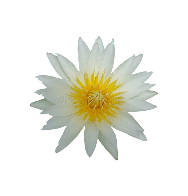 Fiore di Lotus isolato su fondo bianco fotografia stock