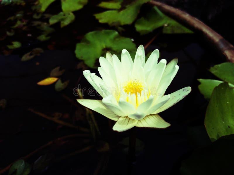 Fiore di Lotus nel bagno fotografie stock