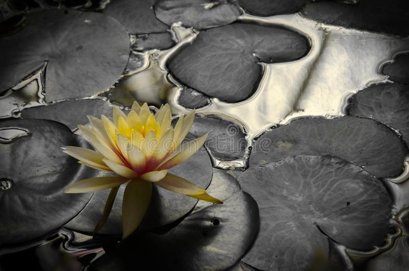 Fiore di Lotus nel giardino botanico di Bogota fotografie stock
