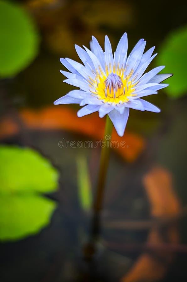 Fiore di Lotus porpora su acqua immagine stock libera da diritti