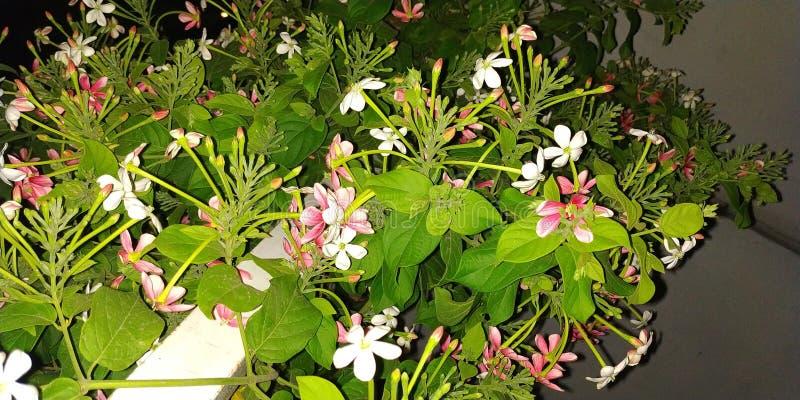 Fiore di Madhumalti fotografie stock libere da diritti