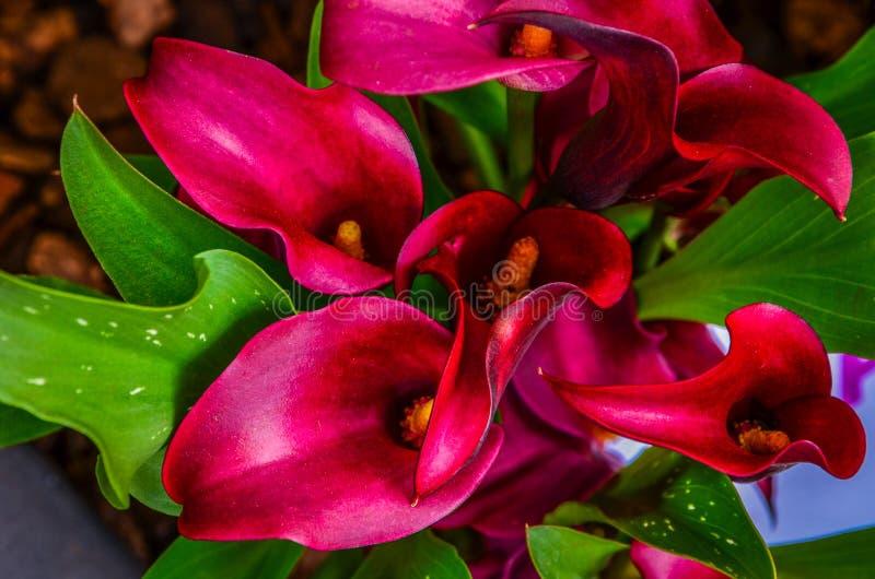 Fiore di Marsala immagine stock libera da diritti