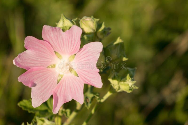 Fiore di Marsh Mallow (althaea officinalis) Pianta medicinale Blos fotografia stock