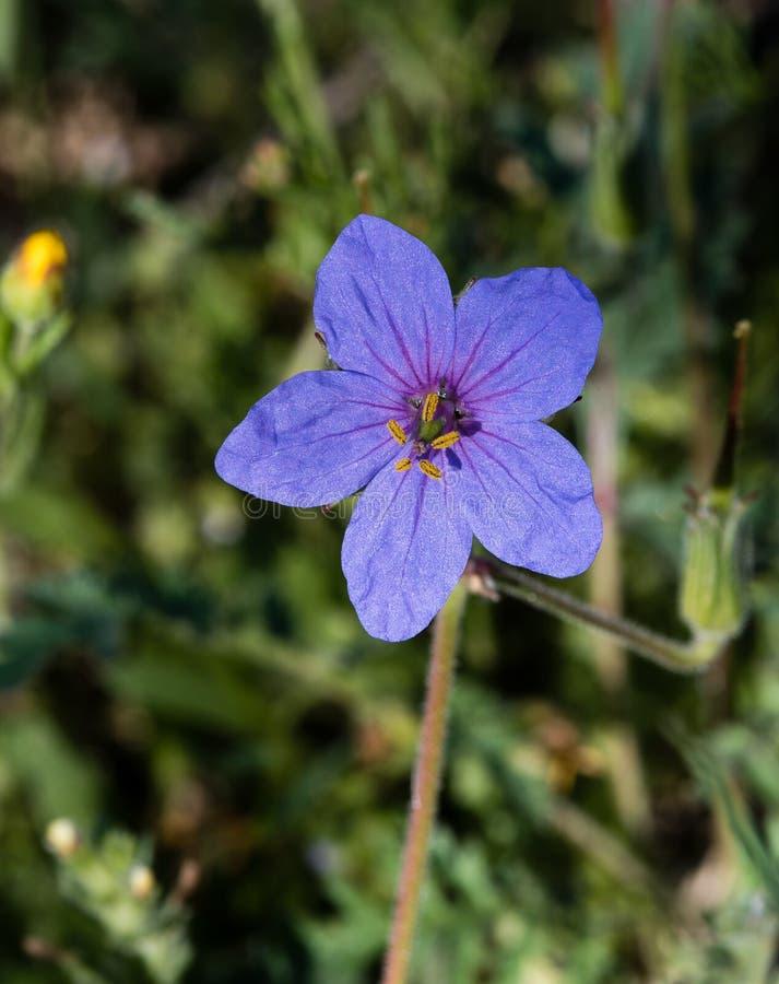 Fiore di Mayflower di sylvaticum del geranio fotografia stock