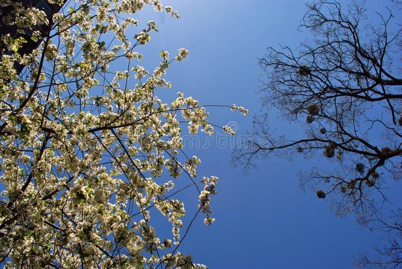 Fiore di melo, albero di pioppo con le giovani foglie verdi e vischi sul fondo superiore e blu del cielo della molla immagine stock