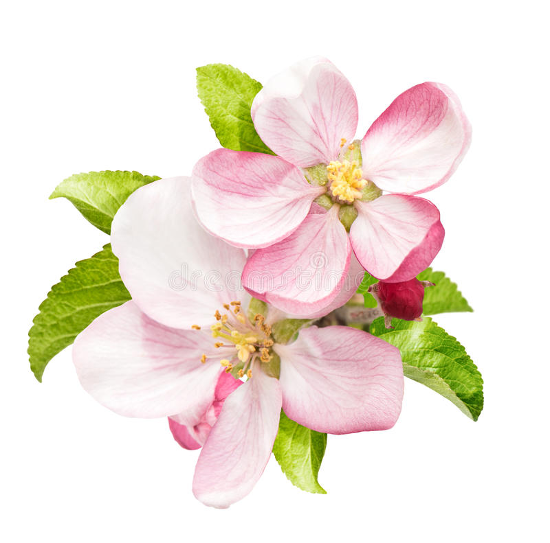 Fiore di melo con le foglie verdi isolate fotografie stock libere da diritti