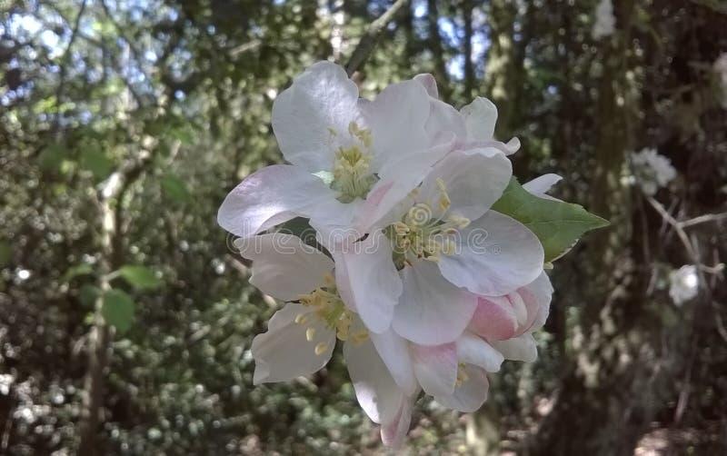 Fiore di melo del granchio in terreno boscoso fotografie stock libere da diritti