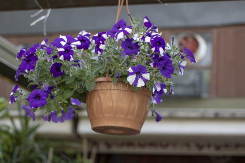 Fiore di Moonflower in vaso da fiori È stato preso l'attaccatura da sopra fotografia stock
