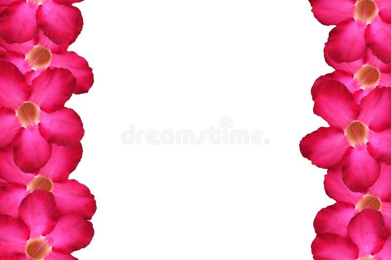 Fiore di nerium oleander su fondo bianco illustrazione di stock