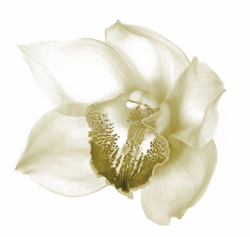 Fiore di Orchchid - seppia immagini stock libere da diritti