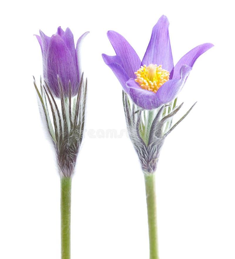 Fiore di Pasque immagini stock libere da diritti