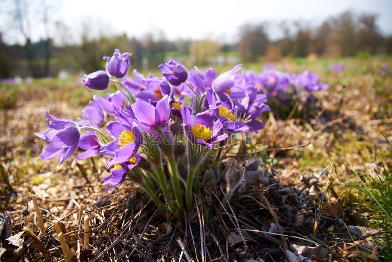 Fiore di Pasque in fioritura; la molla è qui fotografia stock libera da diritti