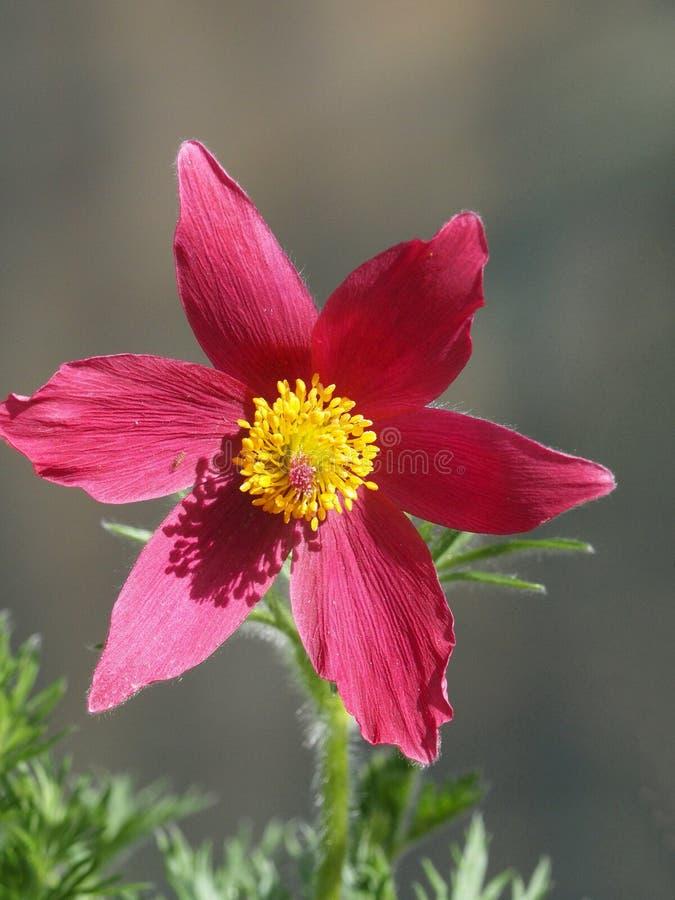Fiore di Pasque in piena fioritura immagini stock