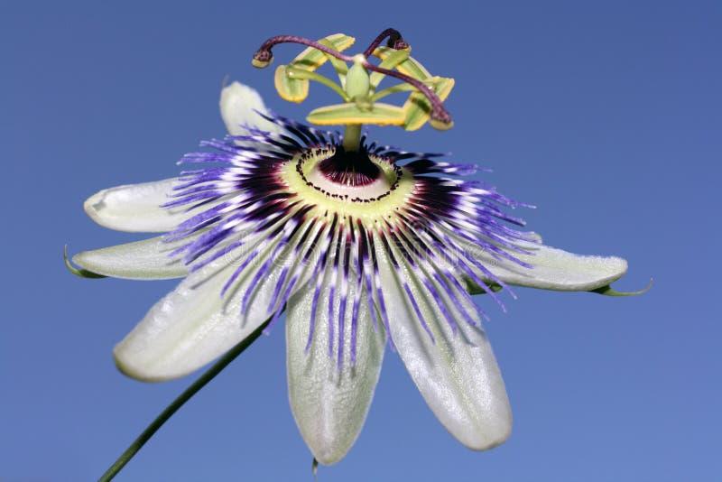 Fiore di passione fotografie stock