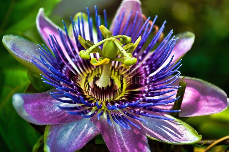 Fiore di passione fotografie stock libere da diritti