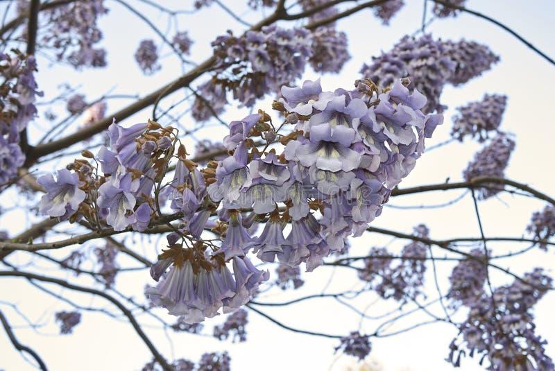 Fiore di paulownia tomentosa fotografia stock libera da diritti