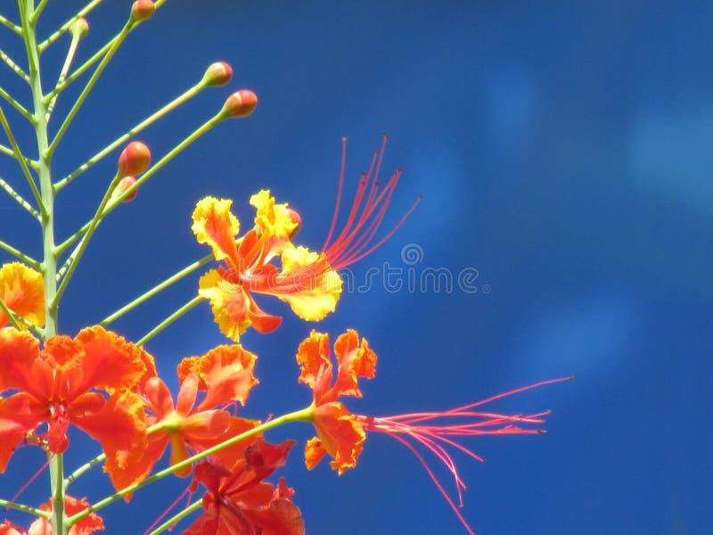 Fiore di pavone che fiorisce nei colori vivi sulla contrapposizione fotografie stock