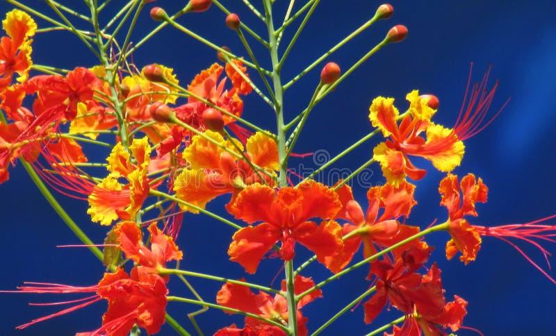 Fiore di pavone che fiorisce nei colori vivi sulla contrapposizione immagini stock libere da diritti