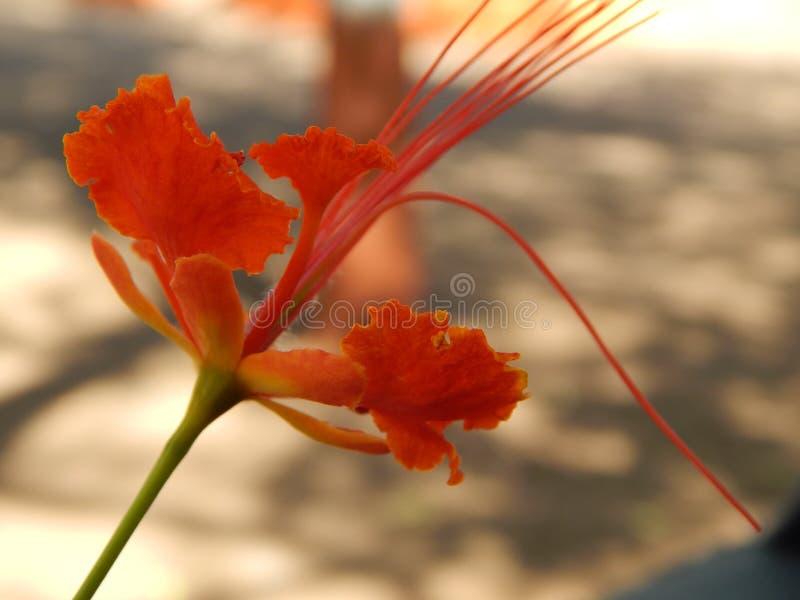 Fiore di pavone nel mio giardino fotografia stock libera da diritti