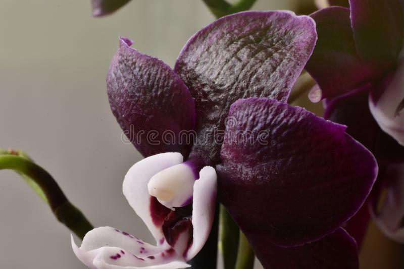 Fiore di phalaenopsis scuro-porpora fotografia stock libera da diritti