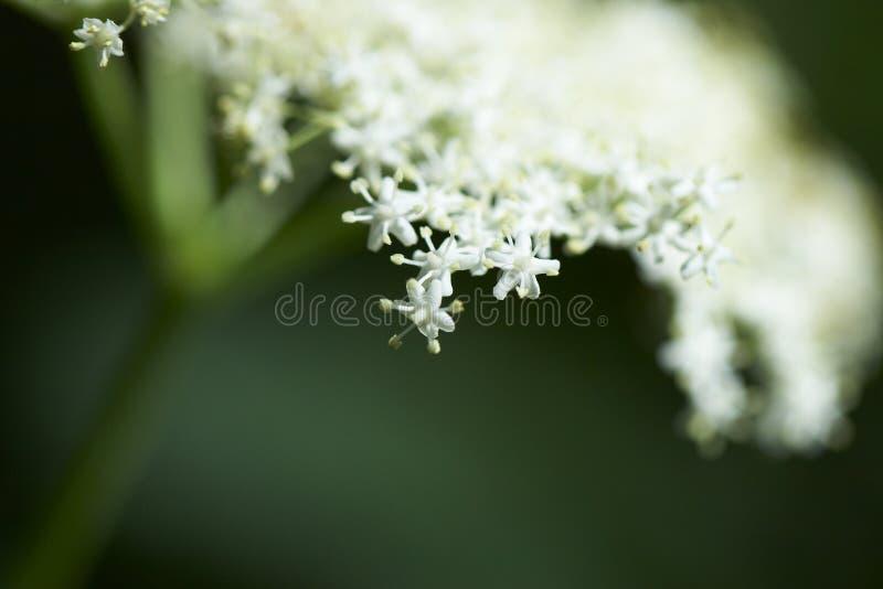 Fiore di più vecchio albero immagine stock libera da diritti