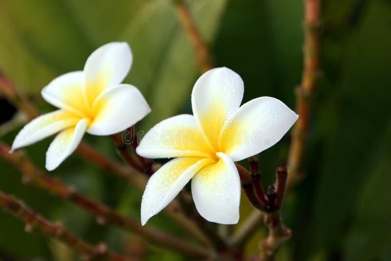 Fiore di Plumeria fotografie stock libere da diritti
