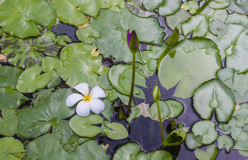 Fiore di plumeria nello stagno di loto fotografia stock libera da diritti