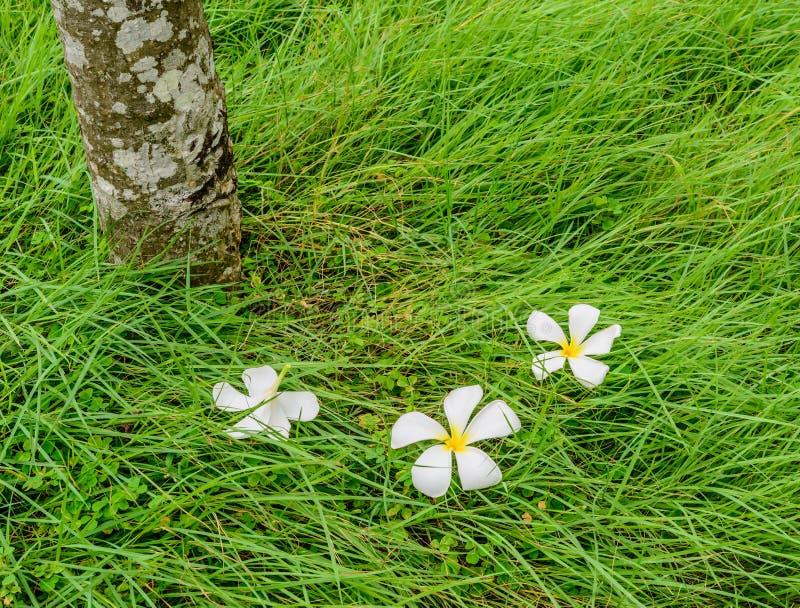 Fiore di plumeria sul campo di erba verde fotografie stock