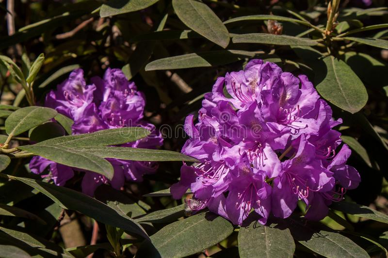 Fiore di porpora del rododendro fotografia stock libera da diritti