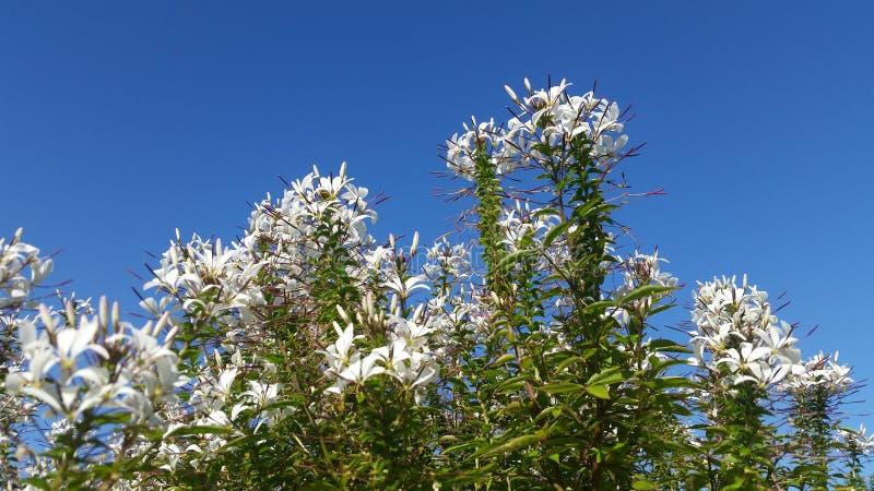 Fiore di ragno bianco fotografie stock