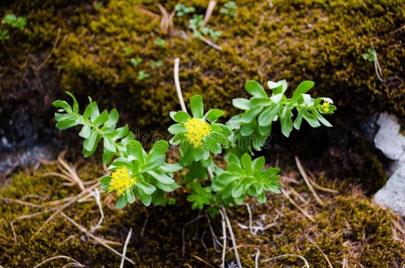 Fiore di rhodiola rosea immagini stock