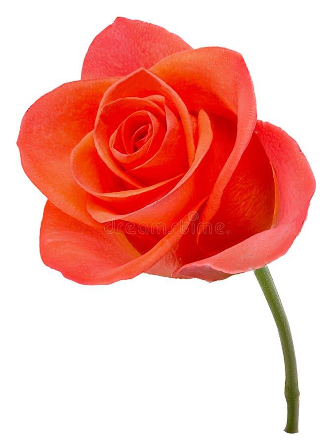 Fiore di rosa di colore rosa fresco fotografia stock libera da diritti