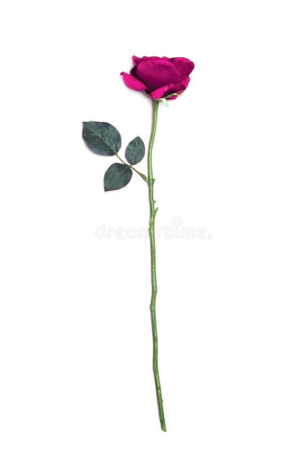 Fiore di rosa di colore rosa isolato su priorità bassa bianca immagine stock