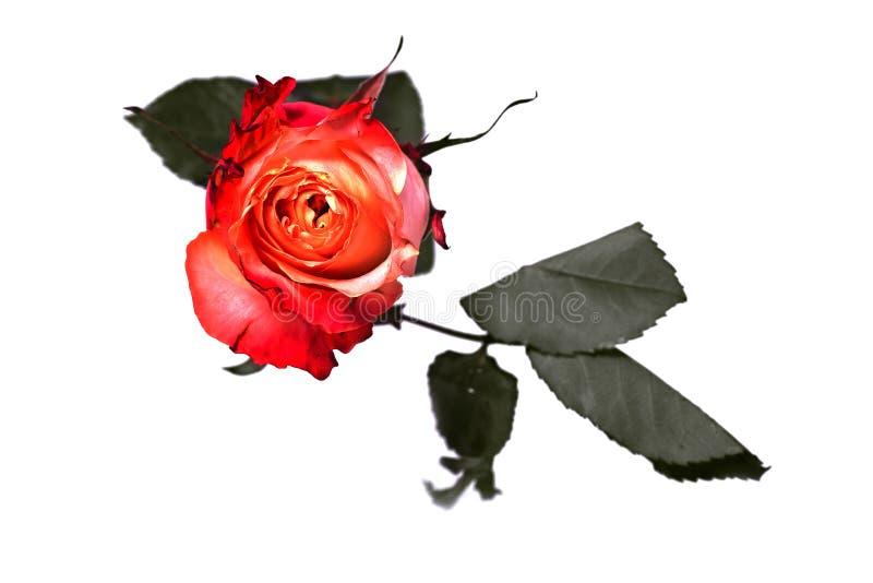 Fiore di rosa di colore rosso su priorità bassa bianca fotografia stock