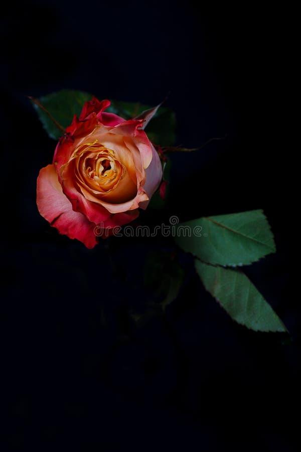Fiore di rosa di colore rosso su priorità bassa nera immagini stock