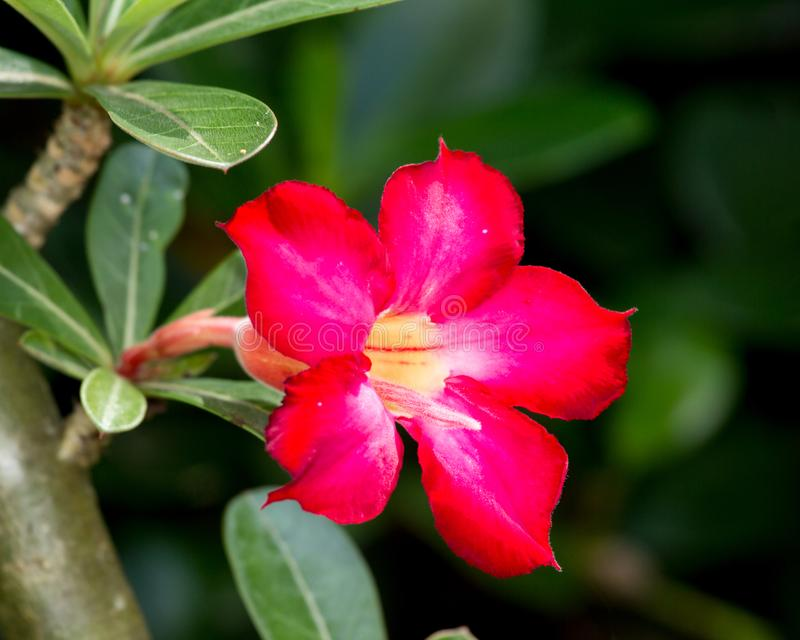 Fiore di rosa del deserto fotografia stock libera da diritti