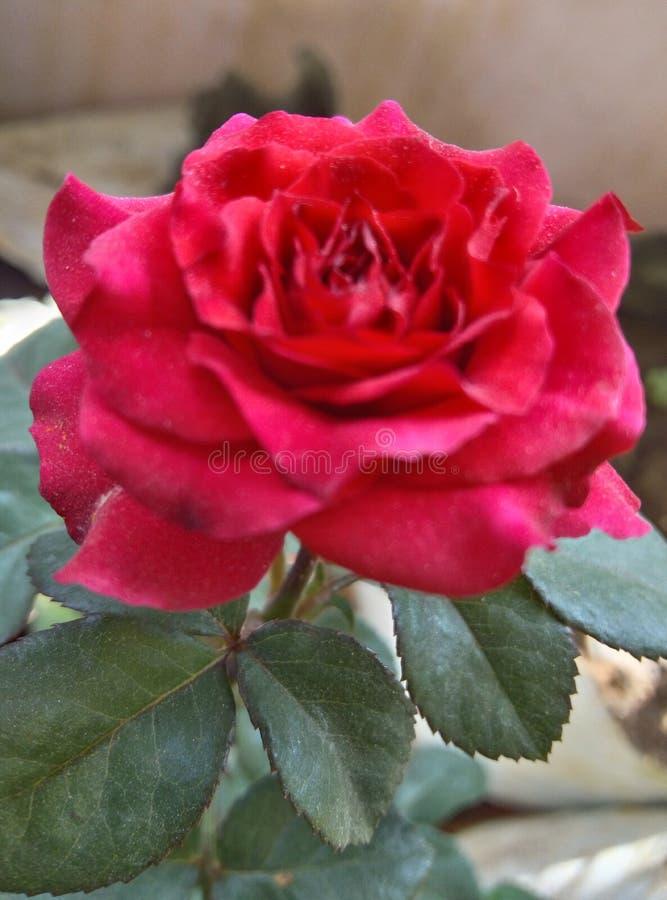 Fiore di rosa di bello colore rosso immagine stock